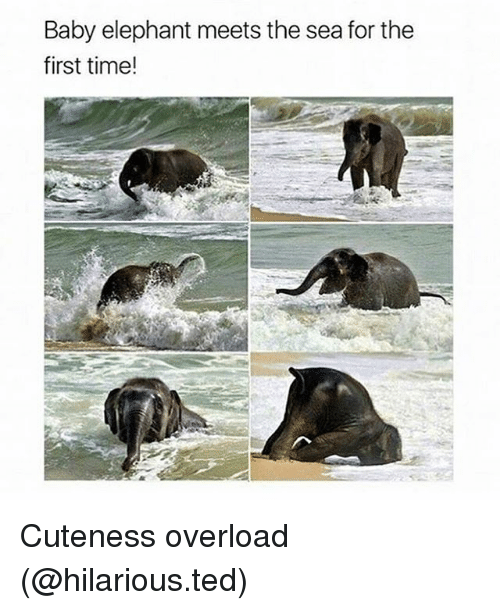 Funny, Ted, and Elephant: Baby elephant meets the sea for the  first time! Cuteness overload (@hilarious.ted)