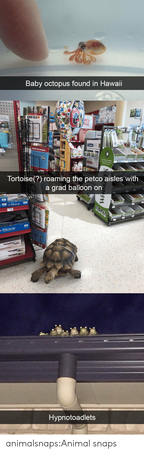 Hawaii: Baby octopus found in Hawaii   Tortoise(?) roaming the petco aisles With  a arad balloon on  PET PAD   Hypnotoadlets animalsnaps:Animal snaps