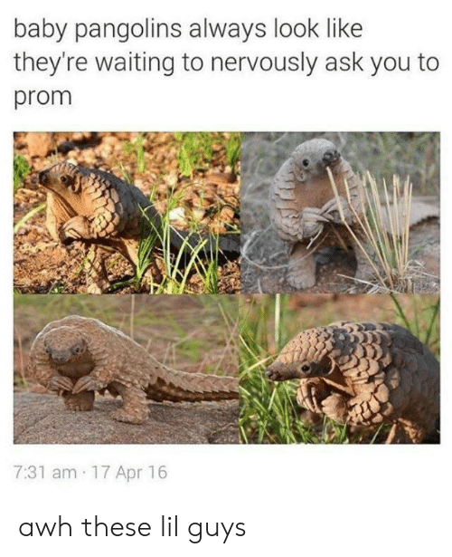 Waiting..., Baby, and Ask: baby pangolins always look like  they're waiting to nervously ask you to  prom  7:31 am 17 Apr 16 awh these lil guys