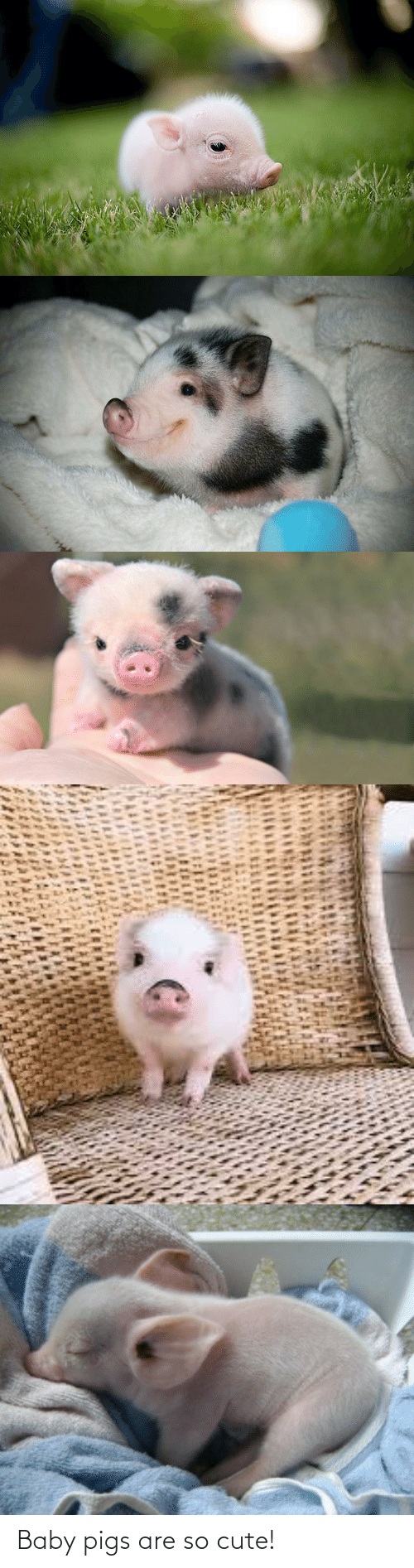 cute: Baby pigs are so cute!