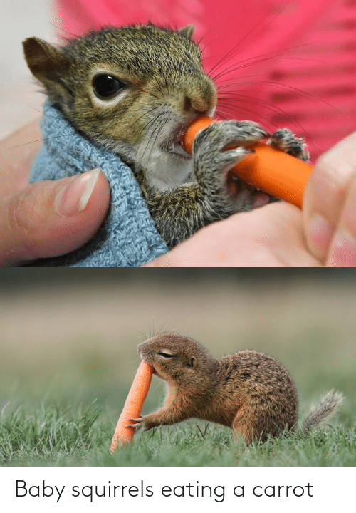 squirrels: Baby squirrels eating a carrot