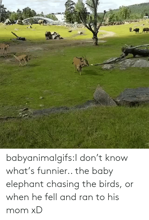 don: babyanimalgifs:I don't know what's funnier.. the baby elephant chasing the birds, or when he fell and ran to his mom xD