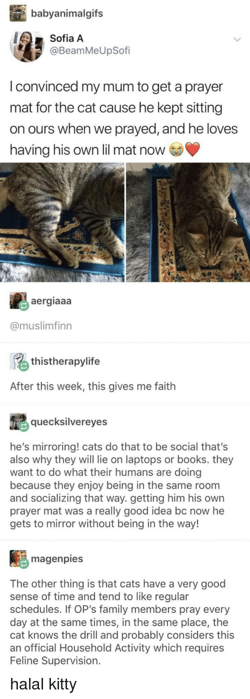 laptops: babyanimalgifs  Sofia A  @BeamMeUpSofi  I convinced my mum to get a prayer  mat for the cat cause he kept sitting  on ours when we prayed, and he loves  having his own lil mat now  aergiaaa  @muslimfinn  thistherapylife  After this week, this gives me faith  quecksilvereyes  he's mirroring! cats do that to be social that's  also why they will lie on laptops or books. they  want to do what their humans are doing  because they enjoy being in the same room  and socializing that way. getting him his own  prayer mat was a really good idea bc now he  gets to mirror without being in the way!  magenpies  The other thing is that cats have a very good  sense of time and tend to like regular  schedules. If OP's family members pray every  day at the same times, in the same place, the  cat knows the drill and probably considers this  an official Household Activity which requires  Feline Supervision. halal kitty