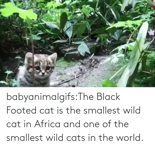 Africa: babyanimalgifs:The Black Footed cat is the smallest wild cat in Africa and one of the smallest wild cats in the world.