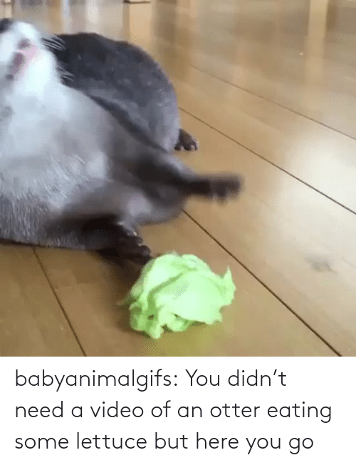 otter: babyanimalgifs:  You didn't need a video of an otter eating some lettuce but here you go