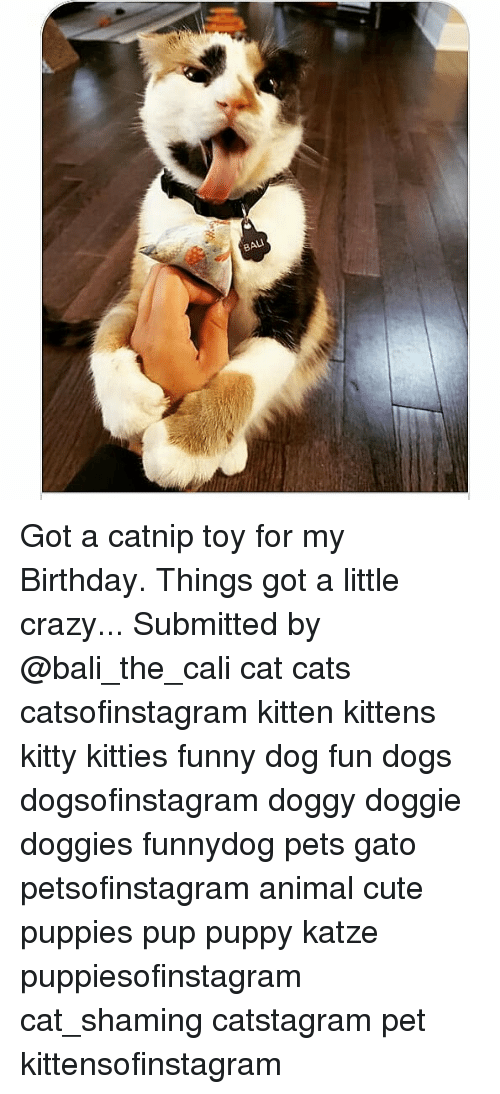Katze: BALI Got a catnip toy for my Birthday. Things got a little crazy... Submitted by @bali_the_cali cat cats catsofinstagram kitten kittens kitty kitties funny dog fun dogs dogsofinstagram doggy doggie doggies funnydog pets gato petsofinstagram animal cute puppies pup puppy katze puppiesofinstagram cat_shaming catstagram pet kittensofinstagram