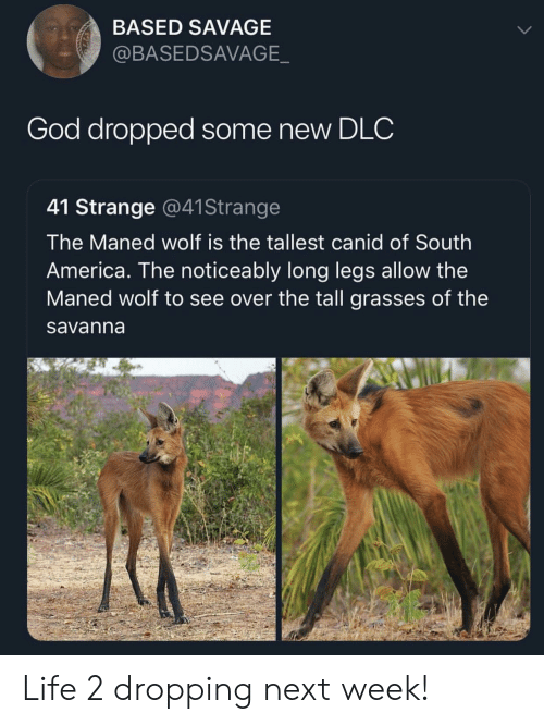 Noticeably: BASED SAVAGE  @BASEDSAVAGE  God dropped some new DLC  41 Strange @41Strange  The Maned wolf is the tallest canid of South  America. The noticeably long legs allow the  Maned wolf to see over the tall grasses of the  savanna Life 2 dropping next week!