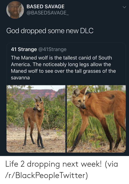 Noticeably: BASED SAVAGE  @BASEDSAVAGE  God dropped some new DLC  41 Strange @41Strange  The Maned wolf is the tallest canid of South  America. The noticeably long legs allow the  Maned wolf to see over the tall grasses of the  savanna Life 2 dropping next week! (via /r/BlackPeopleTwitter)