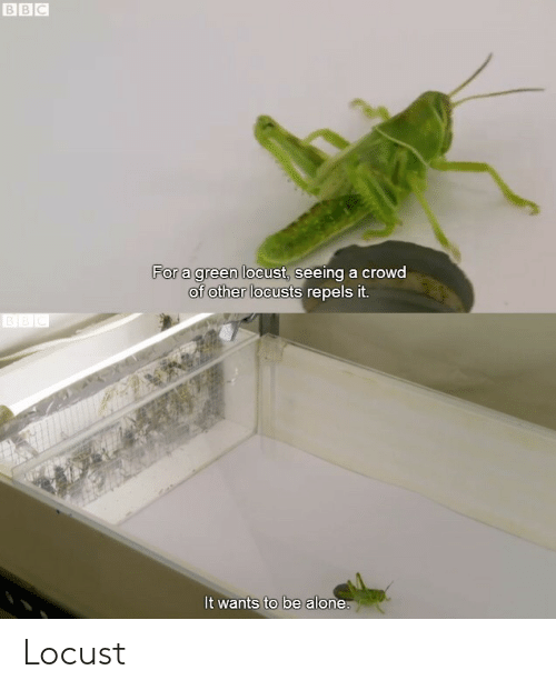bbc: BBC  For a green locust, seeing a crowd  of other locusts repels it.  BEC  It wants to be alone. Locust