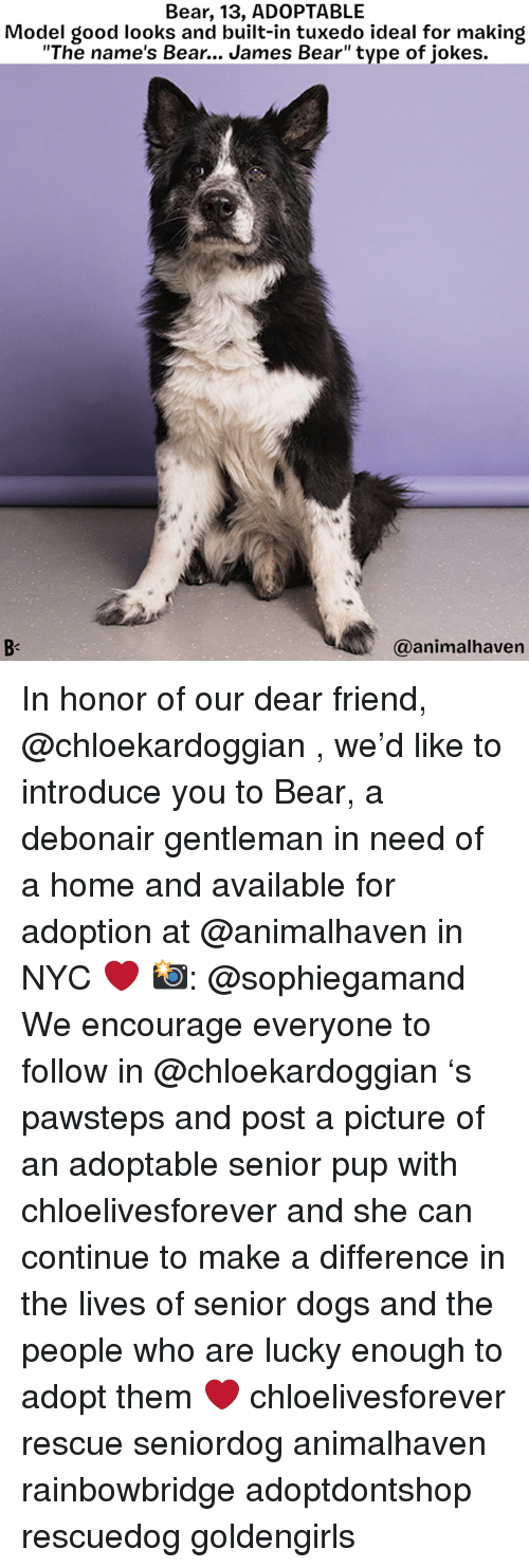 "Dogs, Memes, and Bear: Bear, 13, ADOPTABLE  Model good looks and built-in tuxedo ideal for making  ""The name's Bear... James Bear"" type of jokes.  @animalhaven In honor of our dear friend, @chloekardoggian , we'd like to introduce you to Bear, a debonair gentleman in need of a home and available for adoption at @animalhaven in NYC ❤️ 📸: @sophiegamand We encourage everyone to follow in @chloekardoggian 's pawsteps and post a picture of an adoptable senior pup with chloelivesforever and she can continue to make a difference in the lives of senior dogs and the people who are lucky enough to adopt them ❤️ chloelivesforever rescue seniordog animalhaven rainbowbridge adoptdontshop rescuedog goldengirls"