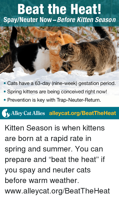 """Conceivment: Beat the Heat!  Spay/Neuter Now-Before Kitten Season  Cats have a 63-day (nine-week) gestation period  Spring kittens are being conceived right now!  Prevention is key with Trap-Neuter-Return  Alley Cat Allies  alleycat.org/BeatTheHeat Kitten Season is when kittens are born at a rapid rate in spring and summer. You can prepare and """"beat the heat"""" if you spay and neuter cats before warm weather.  www.alleycat.org/BeatTheHeat"""