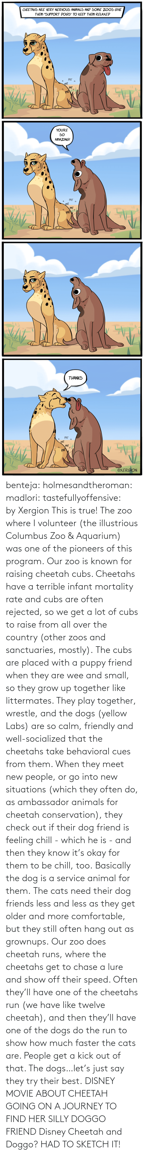 Friendly: benteja:  holmesandtheroman:  madlori:  tastefullyoffensive: by Xergion This is true! The zoo where I volunteer (the illustrious Columbus Zoo & Aquarium) was one of the pioneers of this program. Our zoo is known for raising cheetah cubs. Cheetahs have a terrible infant mortality rate and cubs are often rejected, so we get a lot of cubs to raise from all over the country (other zoos and sanctuaries, mostly). The cubs are placed with a puppy friend when they are wee and small, so they grow up together like littermates. They play together, wrestle, and the dogs (yellow Labs) are so calm, friendly and well-socialized that the cheetahs take behavioral cues from them. When they meet new people, or go into new situations (which they often do, as ambassador animals for cheetah conservation), they check out if their dog friend is feeling chill - which he is - and then they know it's okay for them to be chill, too. Basically the dog is a service animal for them. The cats need their dog friends less and less as they get older and more comfortable, but they still often hang out as grownups. Our zoo does cheetah runs, where the cheetahs get to chase a lure and show off their speed. Often they'll have one of the cheetahs run (we have like twelve cheetah), and then they'll have one of the dogs do the run to show how much faster the cats are. People get a kick out of that. The dogs…let's just say they try their best.   DISNEY MOVIE ABOUT CHEETAH GOING ON A JOURNEY TO FIND HER SILLY DOGGO FRIEND  Disney Cheetah and Doggo? HAD TO SKETCH IT!