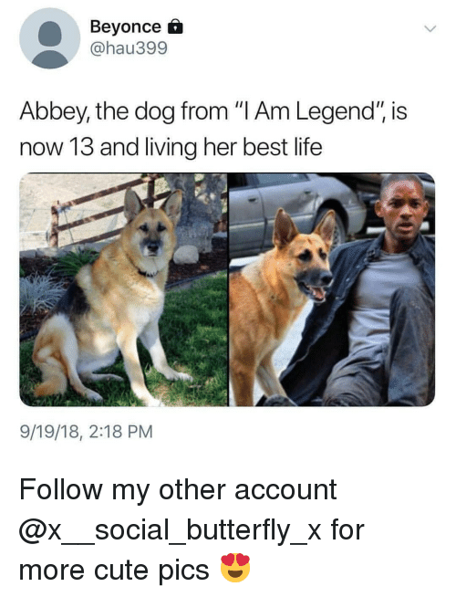 """Beyonce, Cute, and Life: Beyonce  @hau399  Abbey, the dog from """"I Am Legend"""", is  now 13 and living her best life  9/19/18, 2:18 PM Follow my other account @x__social_butterfly_x for more cute pics 😍"""