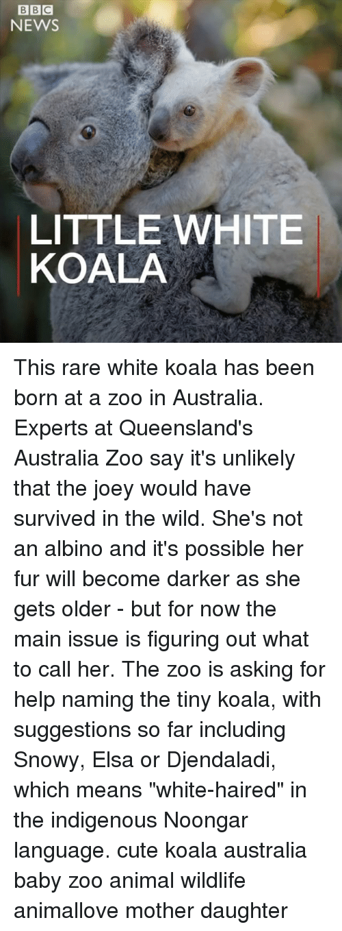 "Rareness: BIBIC  NEWS  LITTLE WHITE  KOALA This rare white koala has been born at a zoo in Australia. Experts at Queensland's Australia Zoo say it's unlikely that the joey would have survived in the wild. She's not an albino and it's possible her fur will become darker as she gets older - but for now the main issue is figuring out what to call her. The zoo is asking for help naming the tiny koala, with suggestions so far including Snowy, Elsa or Djendaladi, which means ""white-haired"" in the indigenous Noongar language. cute koala australia baby zoo animal wildlife animallove mother daughter"
