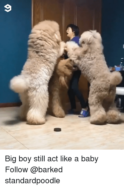 Memes, Big Boy, and Baby: Big boy still act like a baby Follow @barked standardpoodle