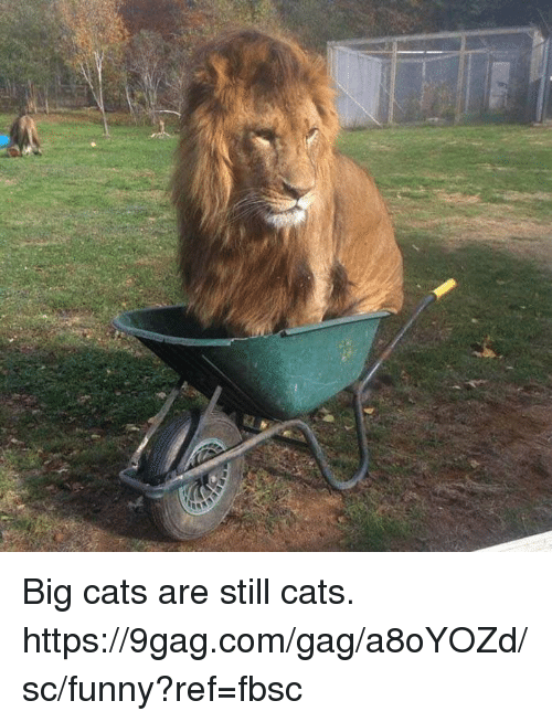 9gag, Cats, and Dank: Big cats are still cats.  https://9gag.com/gag/a8oYOZd/sc/funny?ref=fbsc