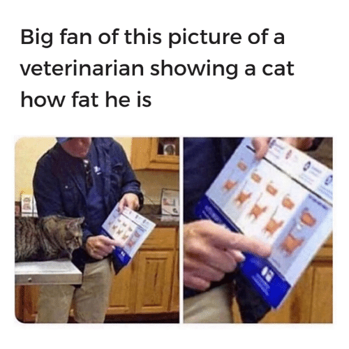 Memes, Veterinarian, and Fat: Big fan of this picture of a  veterinarian showing a cat  how fat he is