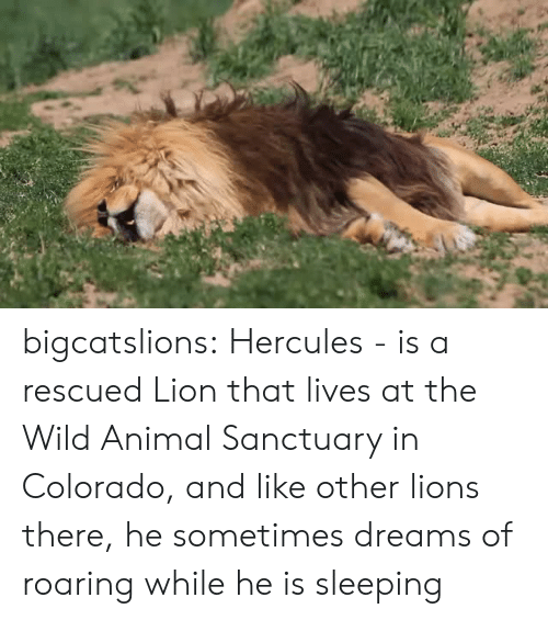 hercules: bigcatslions: Hercules - is a rescued Lion that lives at the Wild Animal Sanctuary in Colorado, and like other lions there, he sometimes dreams of roaring while he is sleeping