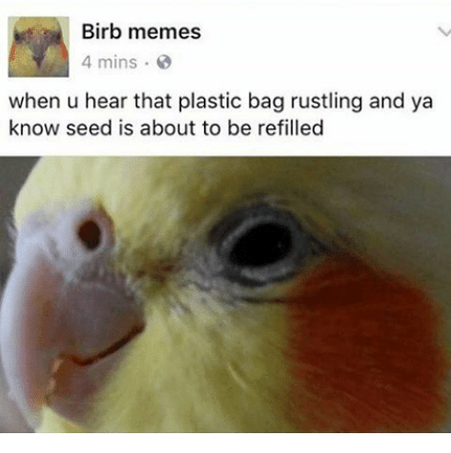 Memes, Plastic, and Seed: Birb memes  4 mins  when u hear that plastic bag rustling and ya  know seed is about to be refilled