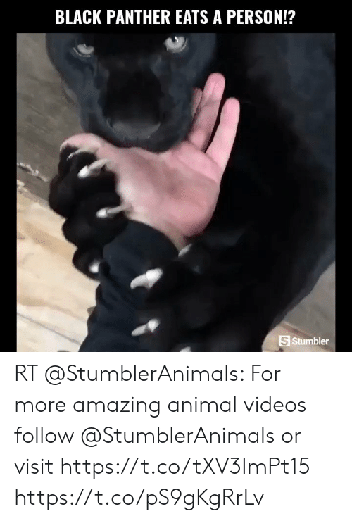 Animal Videos: BLACK PANTHER EATS A PERSON!?  S Stumbler RT @StumblerAnimals: For more amazing animal videos follow @StumblerAnimals or visit https://t.co/tXV3ImPt15 https://t.co/pS9gKgRrLv