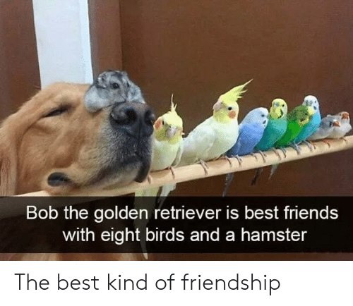 Eight: Bob the golden retriever is best friends  with eight birds and a hamster The best kind of friendship