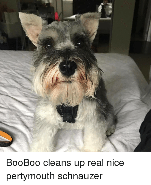 Memes, Schnauzer, and 🤖: BooBoo cleans up real nice pertymouth schnauzer