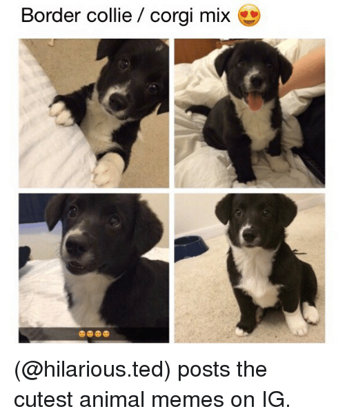 Corgi, Memes, and Ted: Border collie / corgi mix (@hilarious.ted) posts the cutest animal memes on IG.