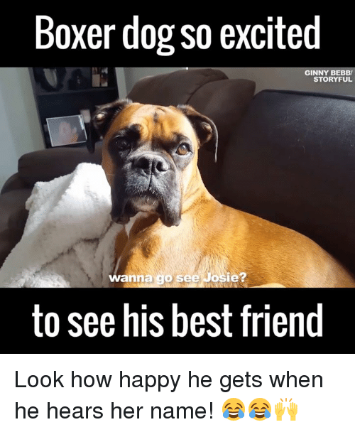 ginny's: Boxer dog so excited  GINNY BEBBV  STORY FUL  wanna  go see Josie?  to see his best friend Look how happy he gets when he hears her name! 😂😂🙌