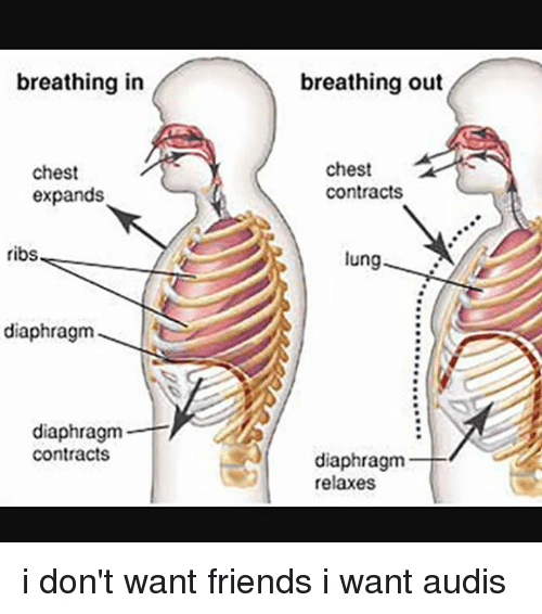 lunging: breathing in  breathing out  chest  expands  chest  contracts  ribs  lung  9  diaphragm  diaphragm  contracts  diaphragm  relaxes i don't want friends i want audis