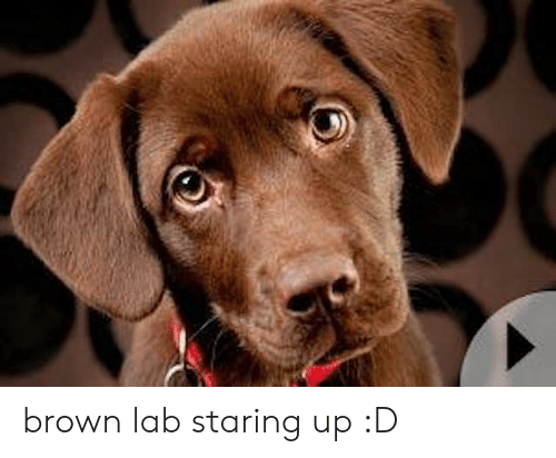 Memes, 🤖, and Staring: brown lab staring up :D