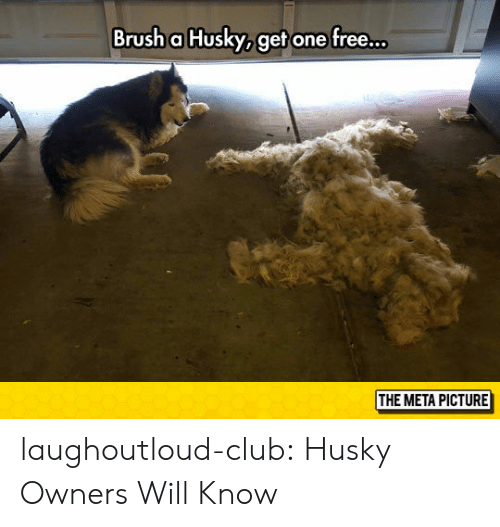 Club, Tumblr, and Blog: Brush a Husky, get one free..  THE META PICTURE laughoutloud-club:  Husky Owners Will Know