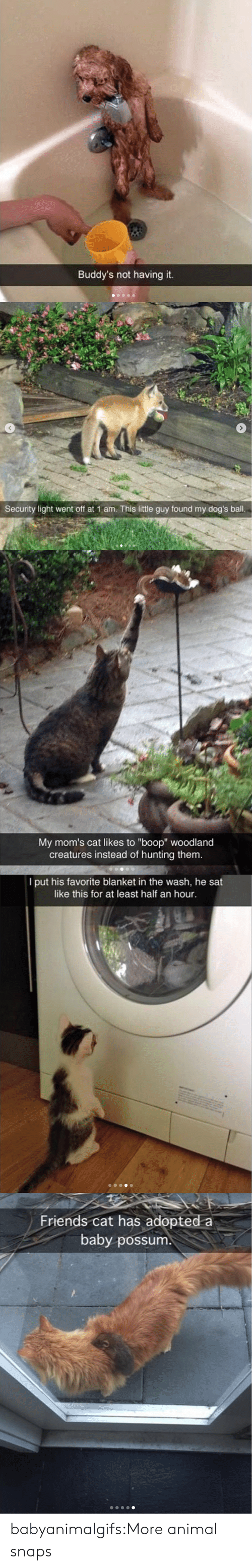 """half an hour: Buddy's not having it.   Security light went off at 1 am. This little guy found my dog's ball.   My mom's cat likes to """"boop"""" woodland  creatures instead of hunting them.   I put his favorite blanket in the wash, he sat  like this for at least half an hour.   Friends cat has adopted a  baby possum babyanimalgifs:More animal snaps"""