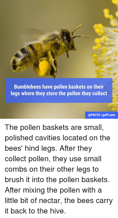 Memes, 🤖, and Hive: Bumblebees have pollen baskets on their  legs where they store the pollen they collect  @FACTS I guff com The pollen baskets are small, polished cavities located on the bees' hind legs. After they collect pollen, they use small combs on their other legs to brush it into the pollen baskets. After mixing the pollen with a little bit of nectar, the bees carry it back to the hive.