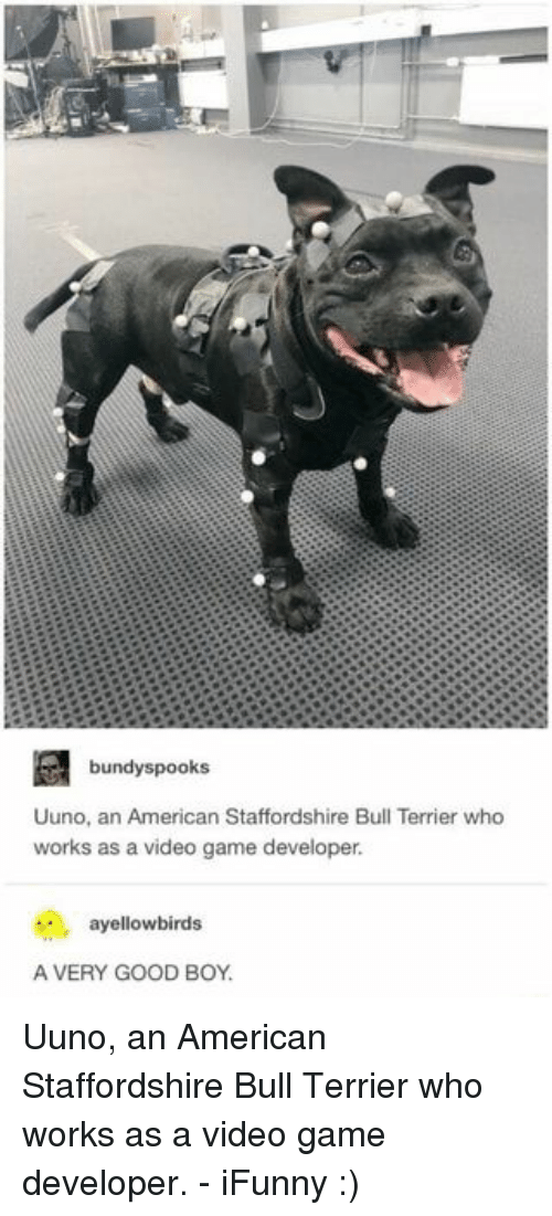 American, Game, and Good: bundyspooks  Uuno, an American Staffordshire Bull Terrier who  works as a video game developer.  ayellowbirds  A VERY GOOD BOY Uuno, an American Staffordshire Bull Terrier who works as a video game developer. - iFunny :)