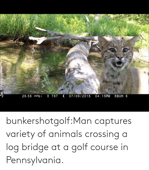 bridge: bunkershotgolf:Man captures variety of animals crossing a log bridge at a golf course in Pennsylvania.