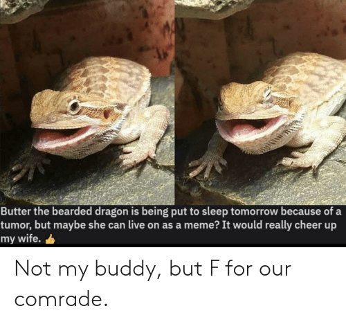 Meme, Live, and Tomorrow: Butter the bearded dragon is being put to sleep tomorrow because of a  tumor, but maybe she can live on as a meme? It would really cheer up  my wife. Not my buddy, but F for our comrade.