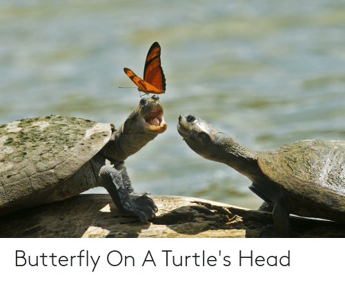 turtles: Butterfly On A Turtle's Head