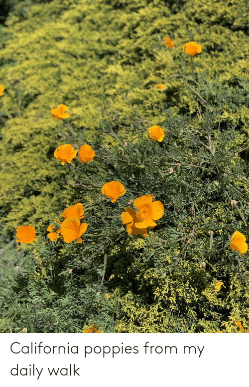 Poppies: California poppies from my daily walk