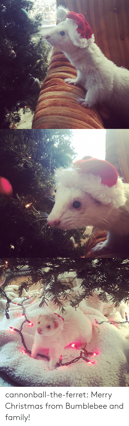 Ferret: cannonball-the-ferret:  Merry Christmas from Bumblebee and family!