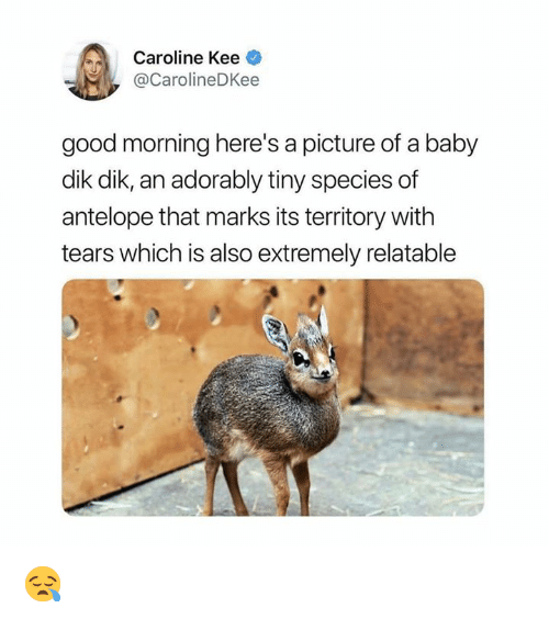 Good Morning, Good, and Relatable: Caroline Kee  @CarolineDKee  good morning here's a picture of a baby  dik dik, an adorably tiny species of  antelope that marks its territory with  tears which is also extremely relatable 😪