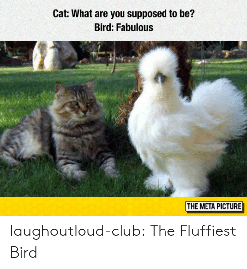 Club, Tumblr, and Blog: Cat: What are you supposed to be?  Bird: Fabulous  THE META PICTURE laughoutloud-club:  The Fluffiest Bird