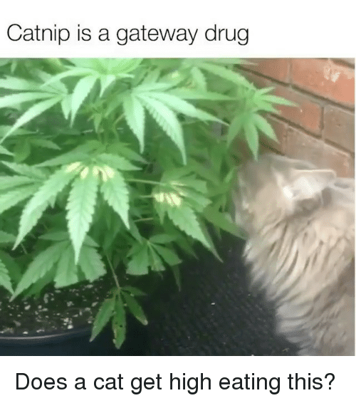 Memes, Gateway, and Drug: Catnip is a gateway drug Does a cat get high eating this?