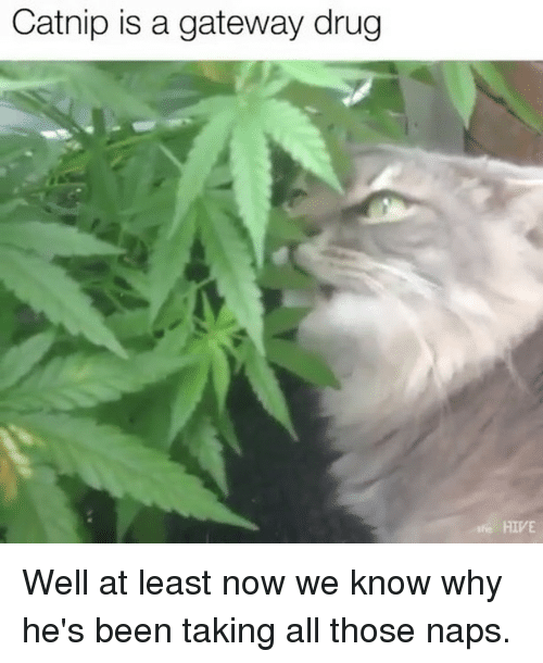 Memes, Gateway, and Drug: Catnip is a gateway drug  HIVE Well at least now we know why he's been taking all those naps.