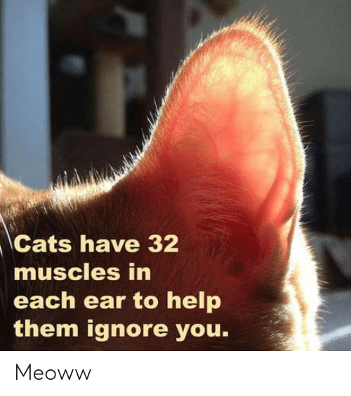 muscles: Cats have 32  muscles in  each ear to help  them ignore you. Meoww