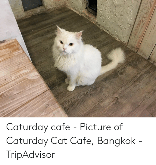 Caturday, Cat, and Tripadvisor: Caturday cafe - Picture of Caturday Cat Cafe, Bangkok - TripAdvisor