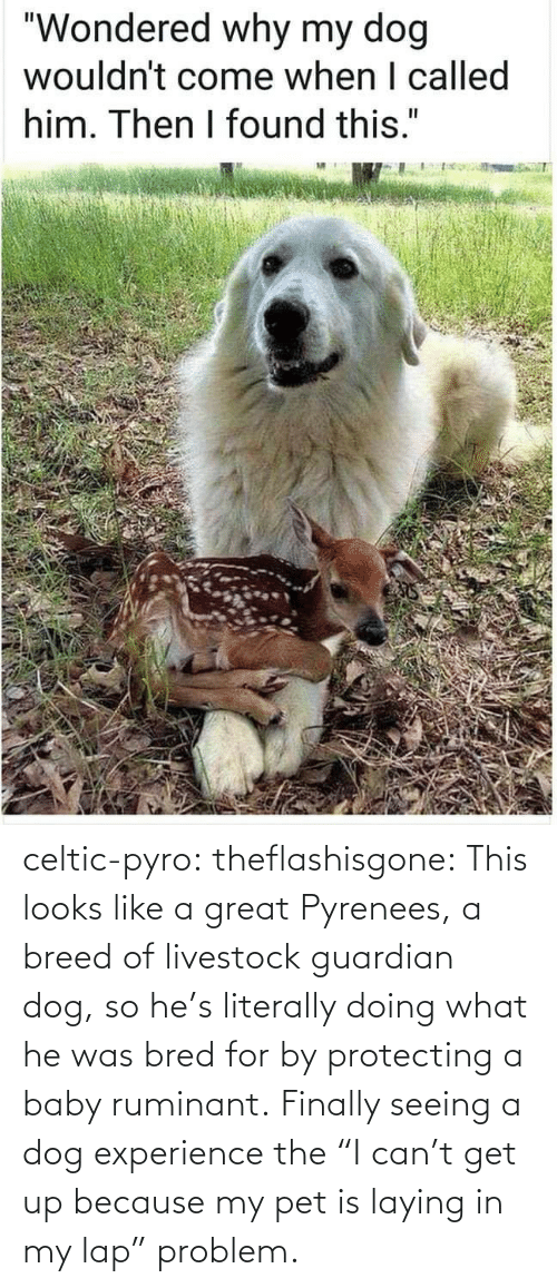 "protecting: celtic-pyro:  theflashisgone: This looks like a great Pyrenees, a breed of livestock guardian dog, so he's literally doing what he was bred for by protecting a baby ruminant. Finally seeing a dog experience the ""I can't get up because my pet is laying in my lap"" problem."