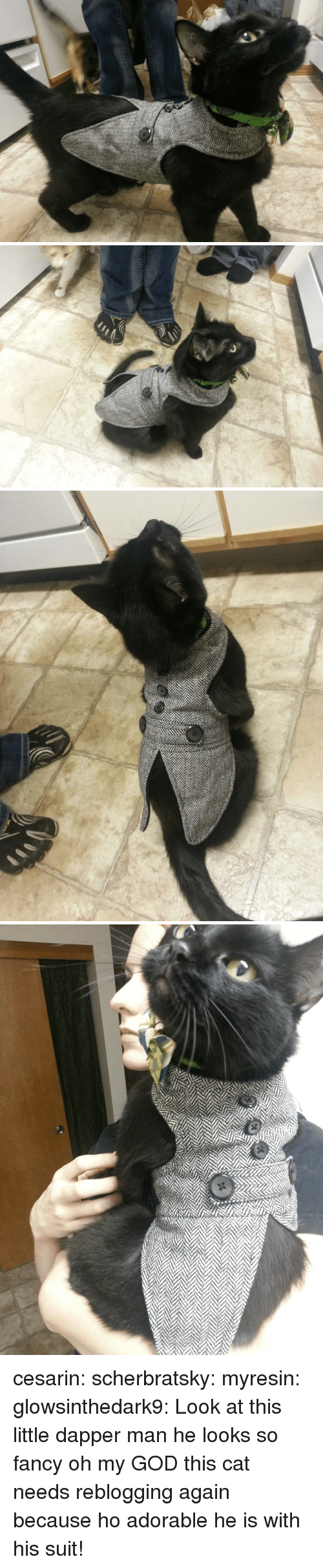 dapper: cesarin: scherbratsky:  myresin:  glowsinthedark9:  Look at this little dapper man  he looks so fancy  oh my GOD  this cat needs reblogging again because ho adorable he is with his suit!