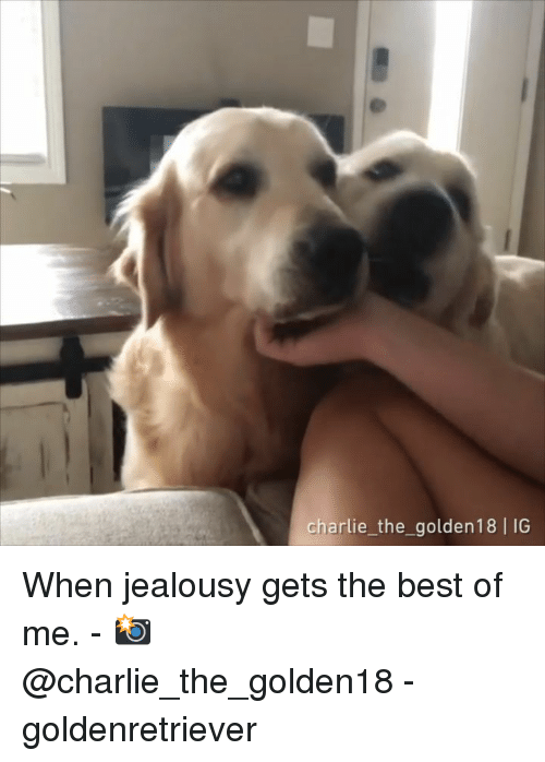 Charlie, Memes, and Best: charlie the_ golden18 IG When jealousy gets the best of me. - 📸@charlie_the_golden18 - goldenretriever