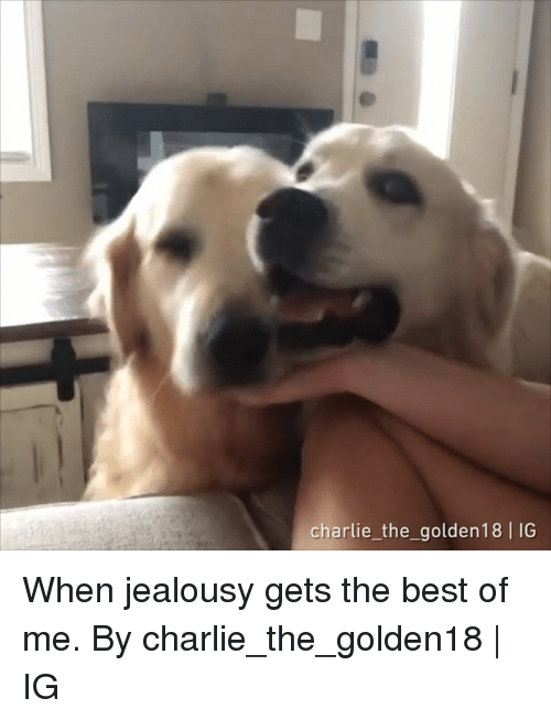 Charlie, Dank, and Best: charlie the_golden18 IG When jealousy gets the best of me.  By charlie_the_golden18 | IG