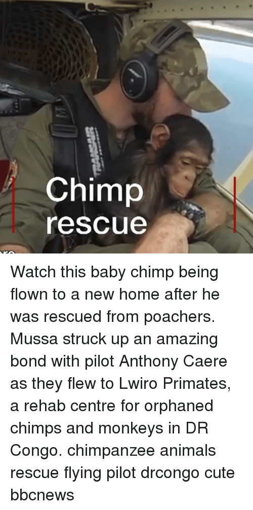 baby chimp: Chimp  rescue Watch this baby chimp being flown to a new home after he was rescued from poachers. Mussa struck up an amazing bond with pilot Anthony Caere as they flew to Lwiro Primates, a rehab centre for orphaned chimps and monkeys in DR Congo. chimpanzee animals rescue flying pilot drcongo cute bbcnews